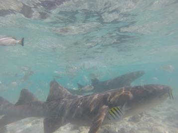 Tubarões nadando bem perto
